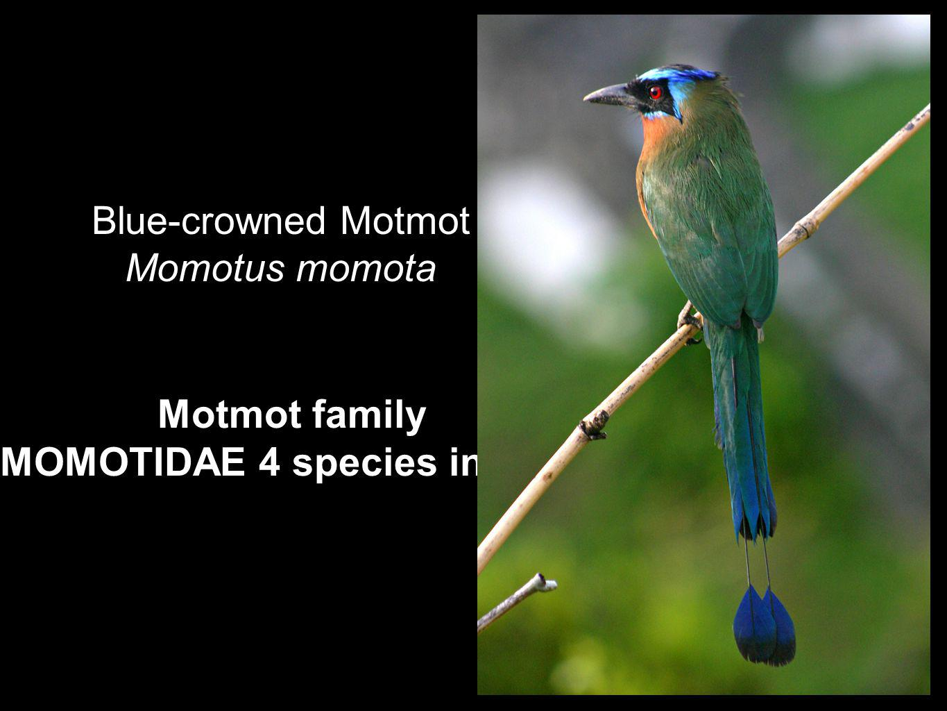 Motmot family MOMOTIDAE 4 species in Perú Blue-crowned Motmot Momotus momota
