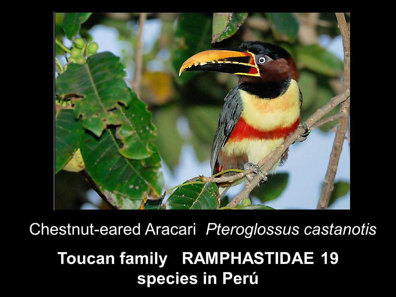 Toucan family RAMPHASTIDAE 19 species in Perú Chestnut-eared Aracari Pteroglossus castanotis