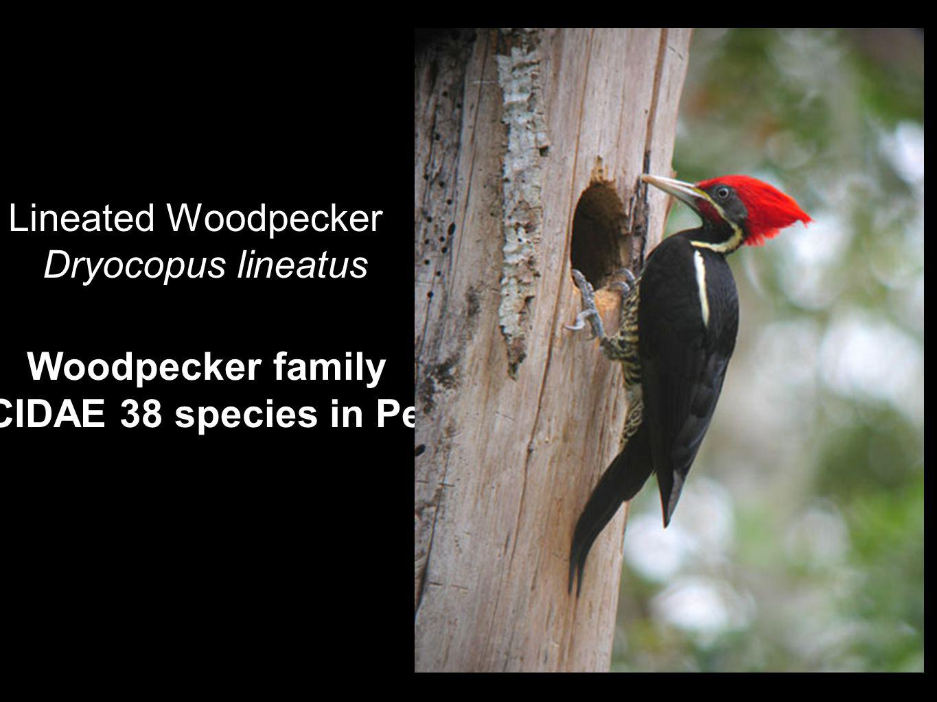 Woodpecker family PICIDAE 38 species in Perú Lineated Woodpecker Dryocopus lineatus