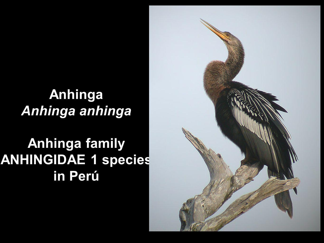 Antbird family THAMNOPHILIDAE 105 species in Perú Warbling Antbird Hypocnemis cantator