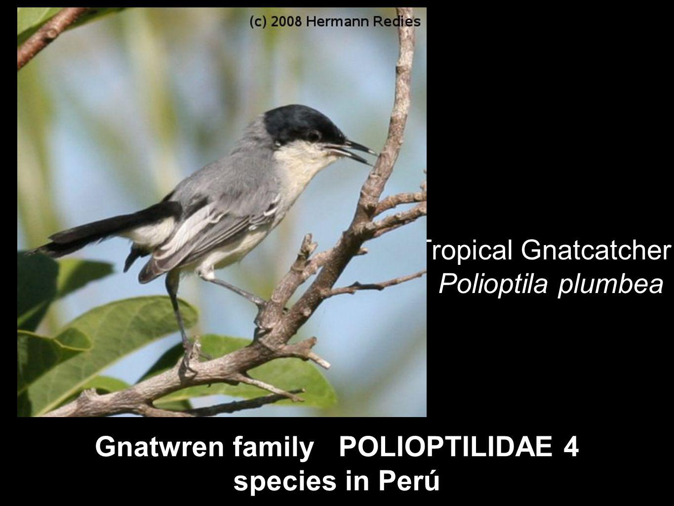 Gnatwren family POLIOPTILIDAE 4 species in Perú Tropical Gnatcatcher Polioptila plumbea