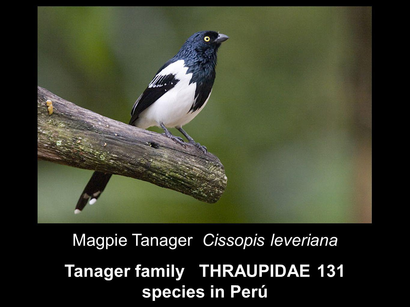 Tanager family THRAUPIDAE 131 species in Perú Magpie Tanager Cissopis leveriana