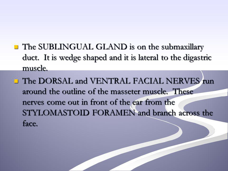 The SUBLINGUAL GLAND is on the submaxillary duct. It is wedge shaped and it is lateral to the digastric muscle. The SUBLINGUAL GLAND is on the submaxi