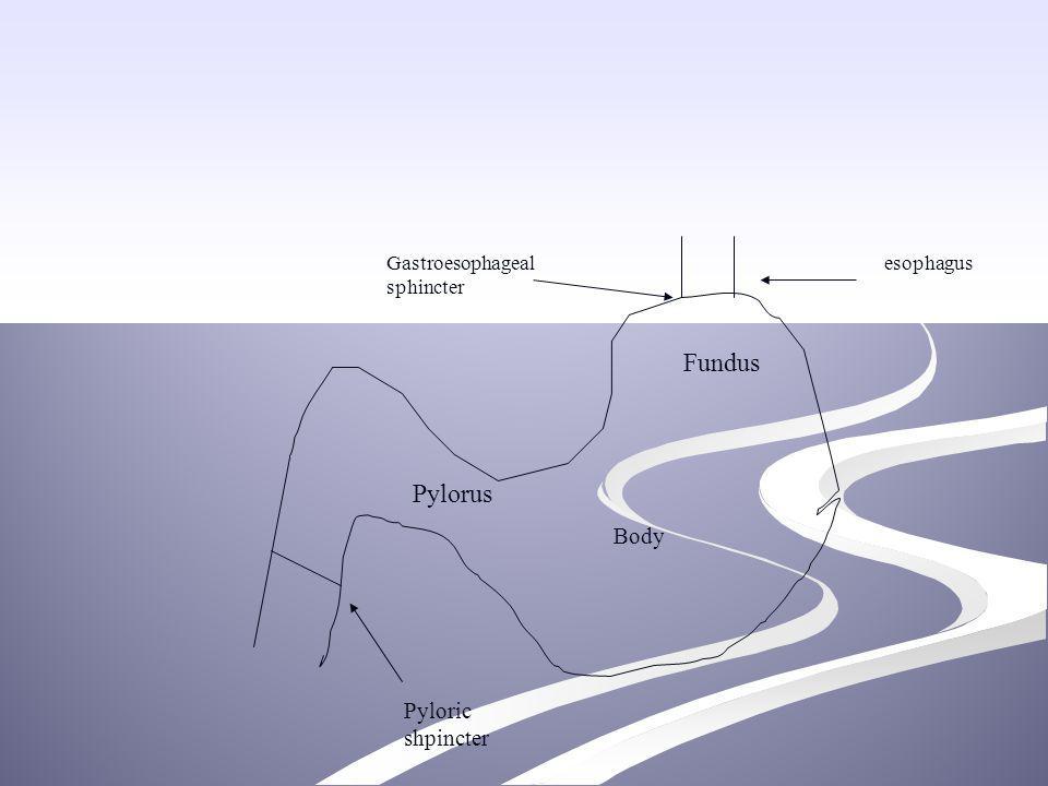 esophagusGastroesophageal sphincter Fundus Body Pylorus Pyloric shpincter