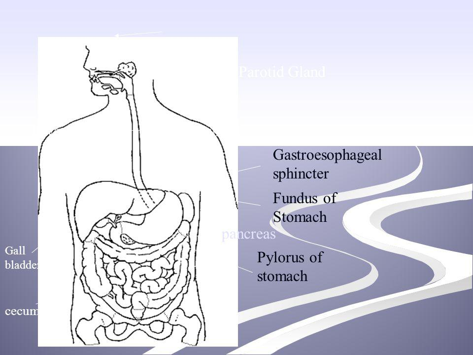 Liveresophagus Fundus of Stomach Gastroesophageal sphincter Pylorus of stomach Gall bladder Parotid Gland pancreas cecum