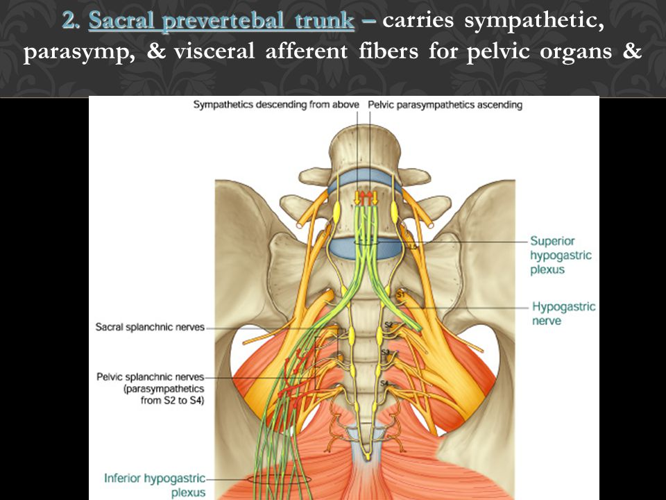 2. Sacral prevertebal trunk – 2. Sacral prevertebal trunk – carries sympathetic, parasymp, & visceral afferent fibers for pelvic organs &
