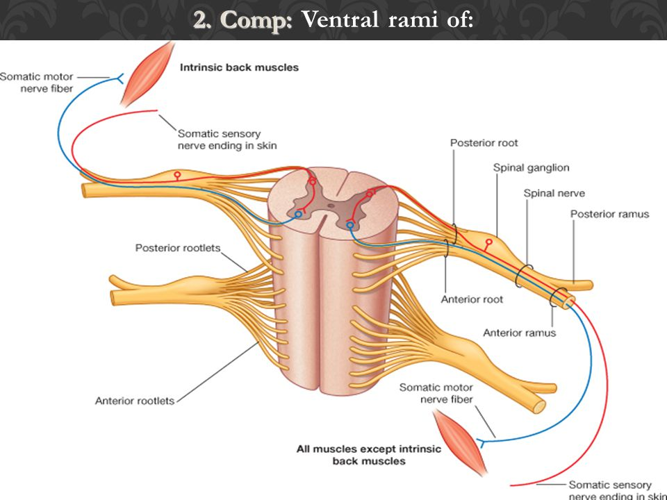 3. Superior hypogastric plexus – distributes sacral prevertebal fibers to 