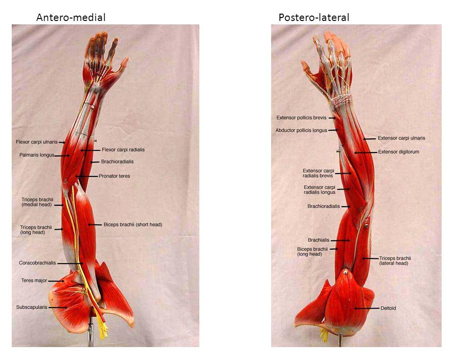 Antero-medialPostero-lateral