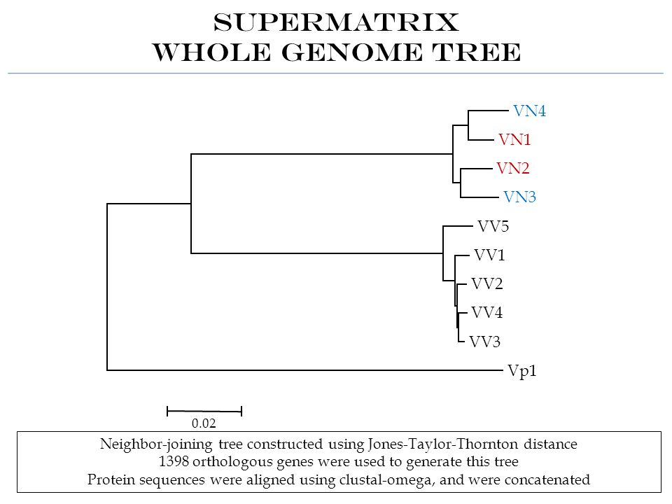 SuperMatrix Whole Genome Tree Neighbor-joining tree constructed using Jones-Taylor-Thornton distance 1398 orthologous genes were used to generate this tree Protein sequences were aligned using clustal-omega, and were concatenated VN4 VN1 VN2 VN3 VV5 VV1 VV2 VV4 VV3 Vp1 0.02