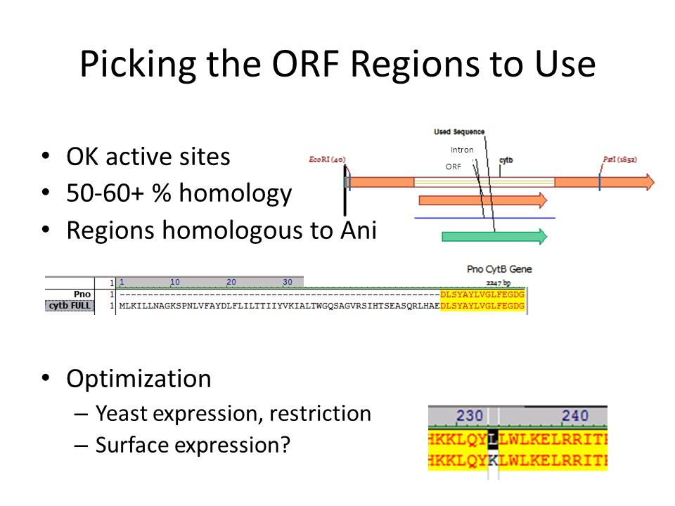 Picking the ORF Regions to Use Intron ORF OK active sites 50-60+ % homology Regions homologous to Ani Optimization – Yeast expression, restriction – Surface expression
