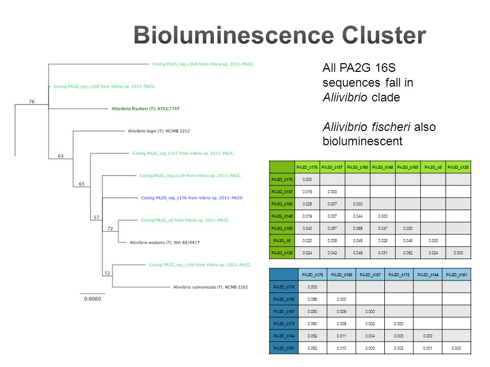 All PA2G 16S sequences fall in Aliivibrio clade Aliivibrio fischeri also bioluminescent PA2D_c176PA2G_c157PA2G_c160PA2G_c148PA2G_c168PA2G_c8PA2G_c128 PA2D_c1760.000 PA2G_c1570.0180.000 PA2G_c1600.0250.0070.000 PA2G_c1480.0190.0370.0440.000 PA2G_c1680.0400.0570.0650.0470.000 PA2G_c80.0200.0380.0450.0280.0480.000 PA2G_c1280.0240.0420.0490.0310.0520.0240.000 PA2D_c176PA2D_c186PA2D_c167PA2D_c172PA2D_c144PA2D_c161 PA2D_c1760.000 PA2D_c1860.0560.000 PA2D_c1670.0500.0090.000 PA2D_c1720.0500.0090.0020.000 PA2D_c1440.0520.0110.0040.0030.000 PA2D_c1610.0520.0100.0030.0020.0010.000