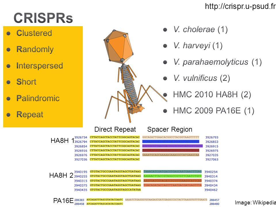 Clustered Randomly Interspersed Short Palindromic Repeat Direct RepeatSpacer Region HA8H 1 PA16E HA8H 2 Image: Wikipedia http://crispr.u-psud.fr