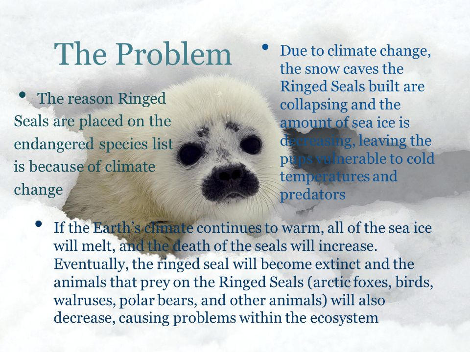 The Problem The reason Ringed Seals are placed on the endangered species list is because of climate change Due to climate change, the snow caves the Ringed Seals built are collapsing and the amount of sea ice is decreasing, leaving the pups vulnerable to cold temperatures and predators I f the Earth's climate continues to warm, all of the sea ice will melt, and the death of the seals will increase.