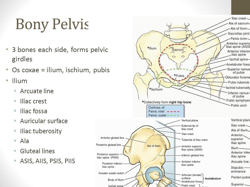 Bony Pelvis 3 bones each side, forms pelvic girdles Os coxae = ilium, ischium, pubis Ilium Arcuate line Iliac crest Iliac fossa Auricular surface Iliac tuberosity Ala Gluteal lines ASIS, AIIS, PSIS, PIIS