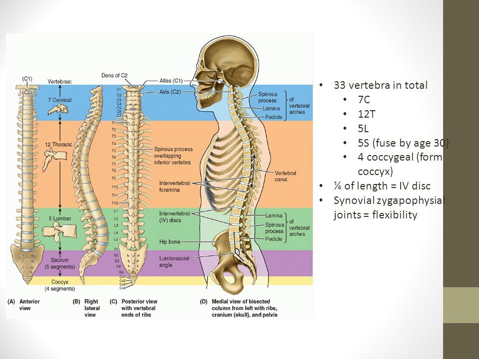 33 vertebra in total 7C 12T 5L 5S (fuse by age 30) 4 coccygeal (form coccyx) ¼ of length = IV disc Synovial zygapophysial joints = flexibility