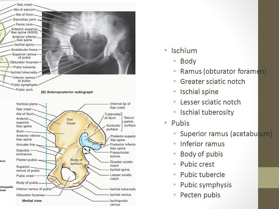 Ischium Body Ramus (obturator foramen) Greater sciatic notch Ischial spine Lesser sciatic notch Ischial tuberosity Pubis Superior ramus (acetabulum) Inferior ramus Body of pubis Pubic crest Pubic tubercle Pubic symphysis Pecten pubis