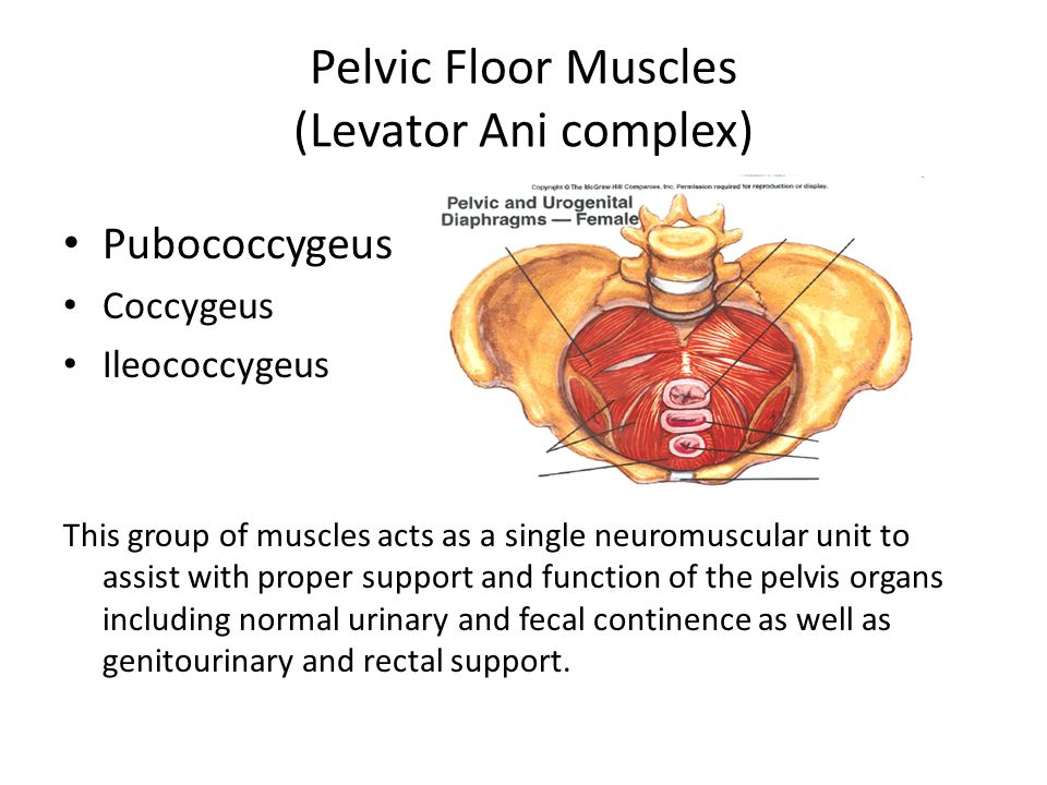 Pelvic Floor Muscles (Levator Ani complex) Pubococcygeus Coccygeus Ileococcygeus This group of muscles acts as a single neuromuscular unit to assist with proper support and function of the pelvis organs including normal urinary and fecal continence as well as genitourinary and rectal support.