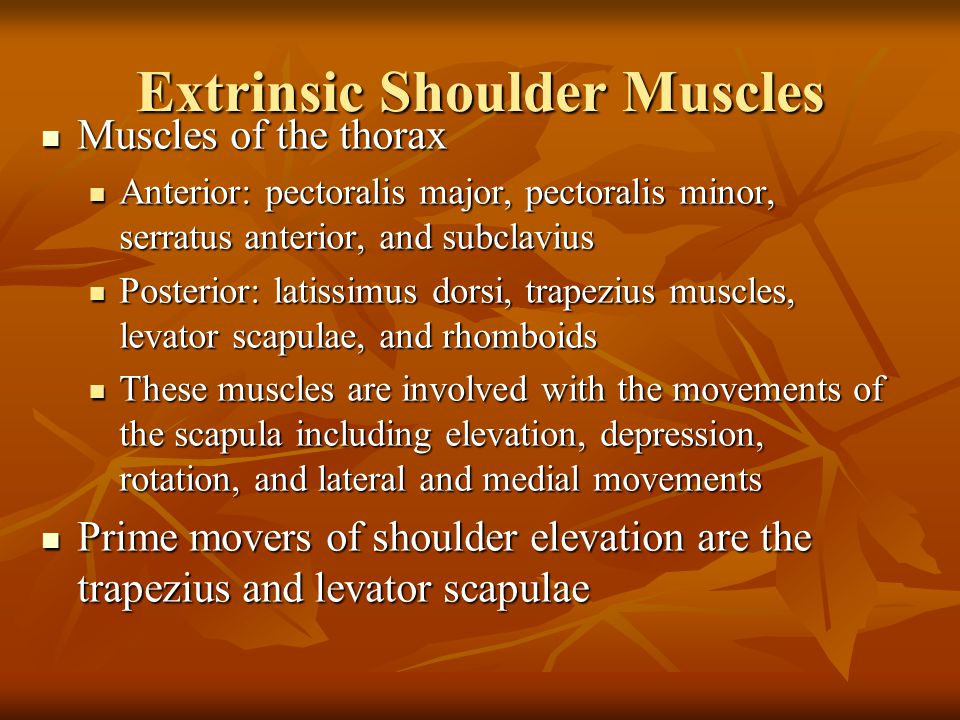 Extrinsic Shoulder Muscles Muscles of the thorax Muscles of the thorax Anterior: pectoralis major, pectoralis minor, serratus anterior, and subclavius