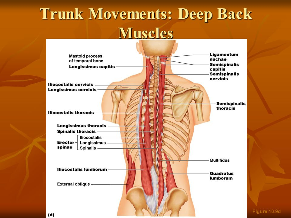 Figure 10.9c Trunk Movements: Short Muscles Four short muscles extend from one vertebra to another Four short muscles extend from one vertebra to another These muscles are synergists in extension and rotation of the spine These muscles are synergists in extension and rotation of the spine