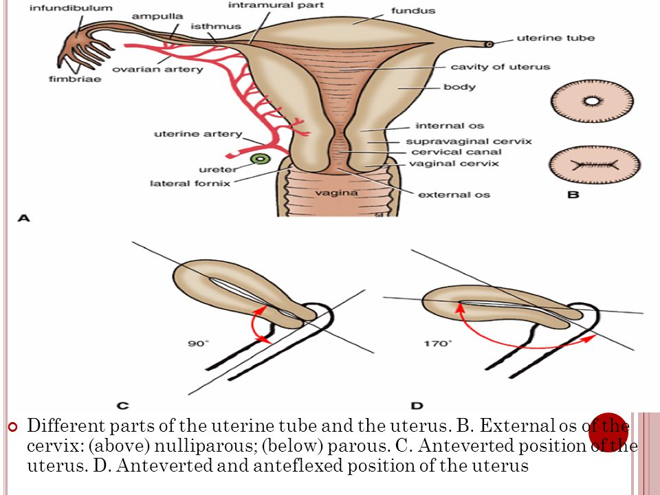 Four muscles compress the vagina and act like sphincters: pubovaginalis, external urethral sphincter, urethrovaginal sphincter, and bulbospongiosus Relations: Anteriorly : the fundus of the urinary bladder and urethra.
