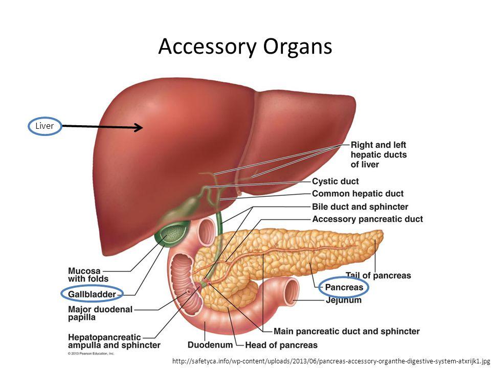 Accessory Organs Liver http://safetyca.info/wp-content/uploads/2013/06/pancreas-accessory-organthe-digestive-system-atxrijk1.jpg