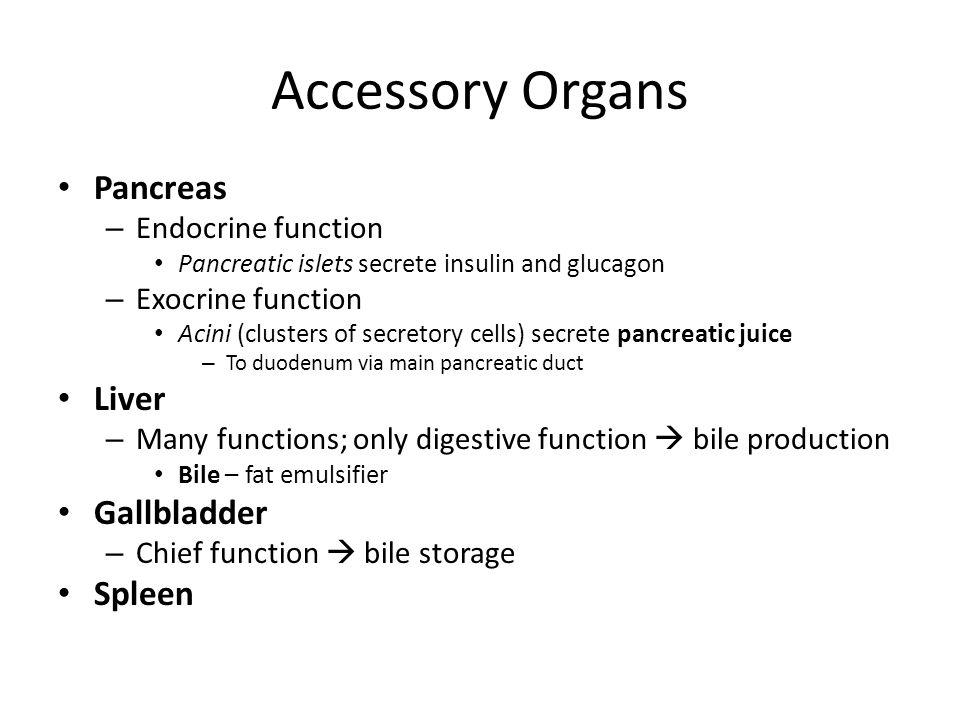 Accessory Organs Pancreas – Endocrine function Pancreatic islets secrete insulin and glucagon – Exocrine function Acini (clusters of secretory cells)