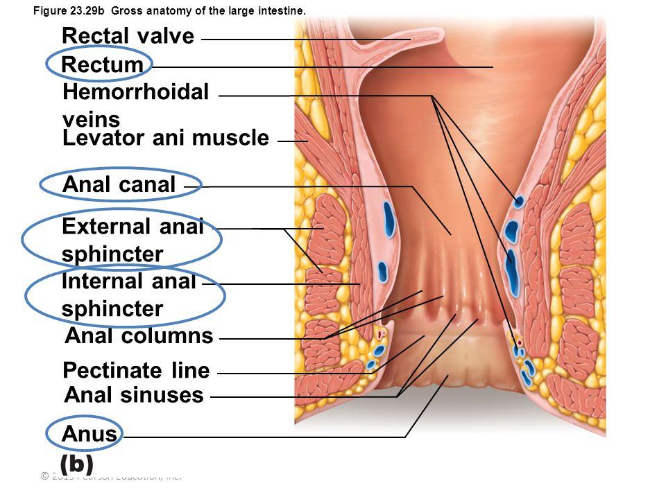 © 2013 Pearson Education, Inc. Figure 23.29b Gross anatomy of the large intestine. Rectal valve Rectum Hemorrhoidal veins Levator ani muscle Anal cana