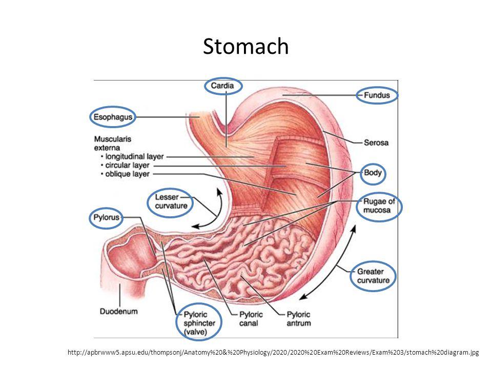 Stomach http://apbrwww5.apsu.edu/thompsonj/Anatomy%20&%20Physiology/2020/2020%20Exam%20Reviews/Exam%203/stomach%20diagram.jpg
