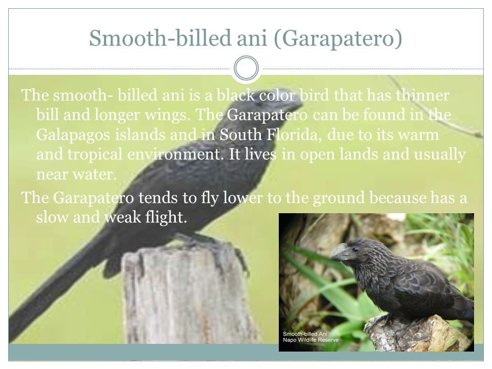 Smooth-billed ani (Garapatero) The smooth- billed ani is a black color bird that has thinner bill and longer wings.
