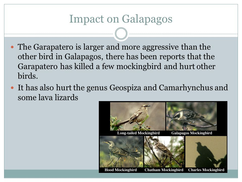 Impact on Galapagos The Garapatero is larger and more aggressive than the other bird in Galapagos, there has been reports that the Garapatero has killed a few mockingbird and hurt other birds.