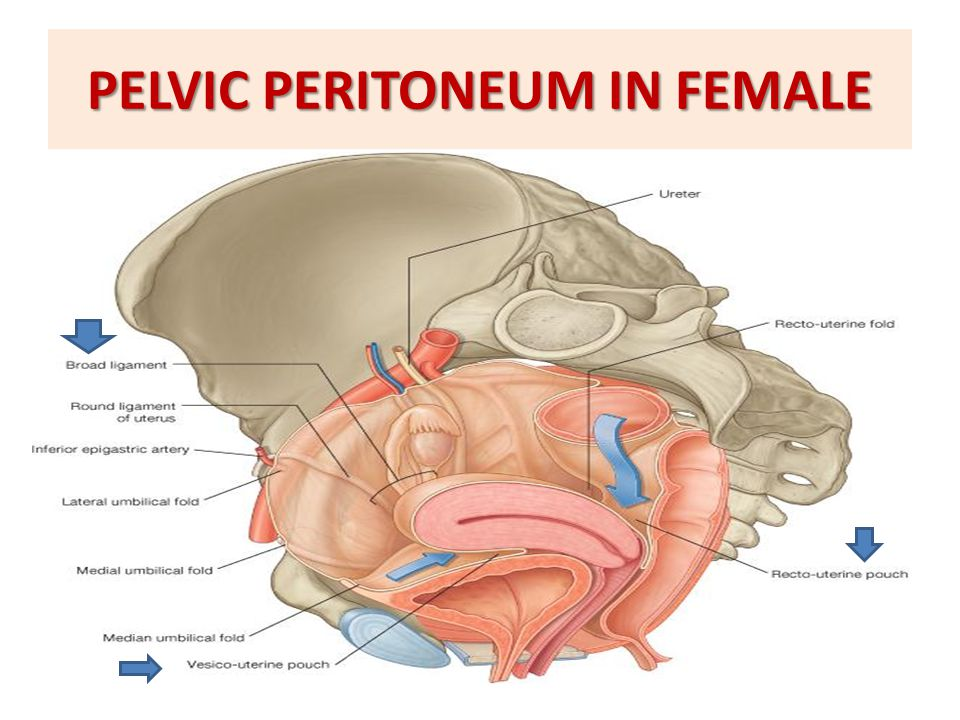 QUESTION 2  Which one of the following structures is anterior to the uterus.