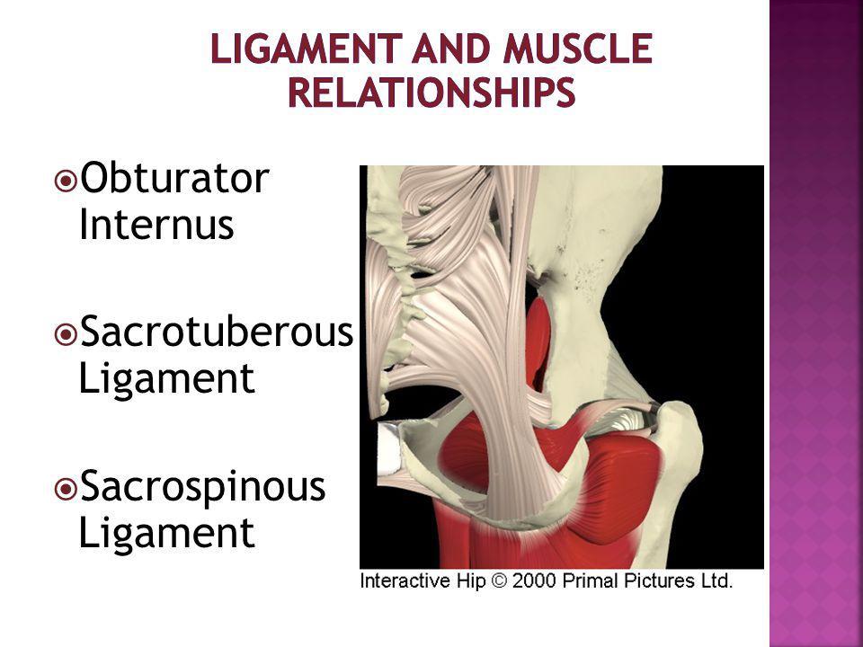  Obturator Internus  Sacrotuberous Ligament  Sacrospinous Ligament