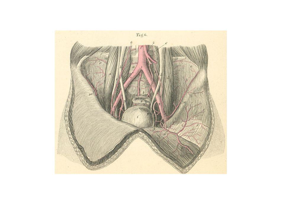 Uterus – Blood Supply Uterine Vessels Ovarian Vessels