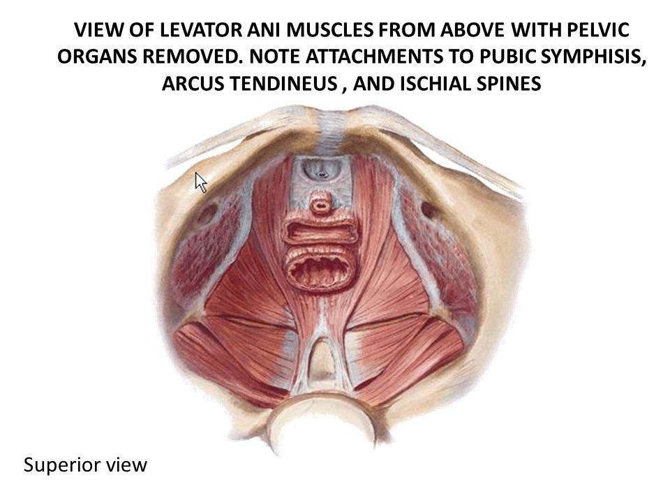 Pelvic Floor Levator Ani Inferior View