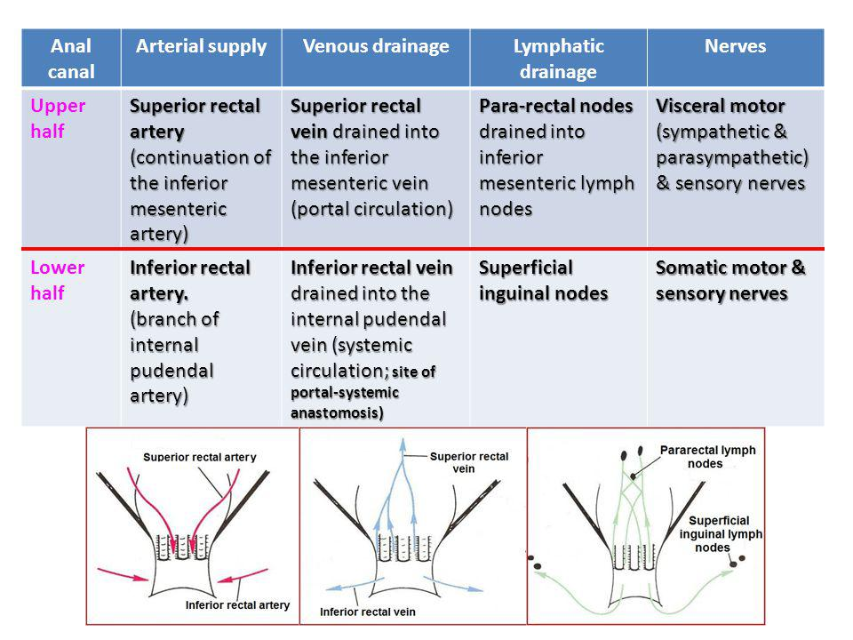 Anal canal Arterial supplyVenous drainageLymphatic drainage Nerves Upper half Superior rectal artery (continuation of the inferior mesenteric artery) Superior rectal vein drained into the inferior mesenteric vein (portal circulation) Para-rectal nodes drained into inferior mesenteric lymph nodes Visceral motor (sympathetic & parasympathetic) & sensory nerves Lower half Inferior rectal artery.