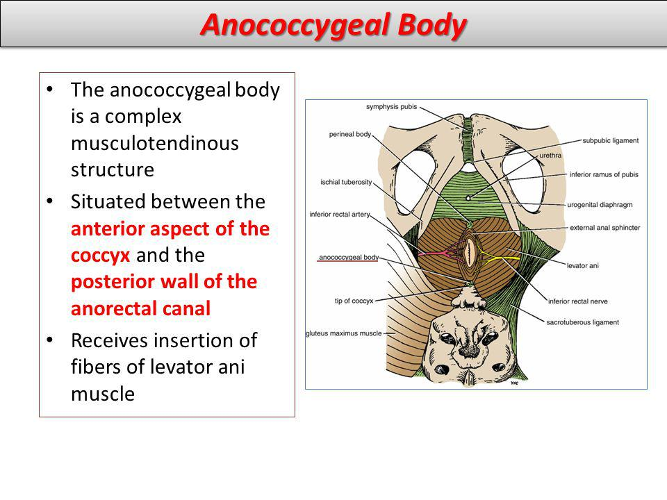 The anococcygeal body is a complex musculotendinous structure Situated between the anterior aspect of the coccyx and the posterior wall of the anorectal canal Receives insertion of fibers of levator ani muscle Anococcygeal Body