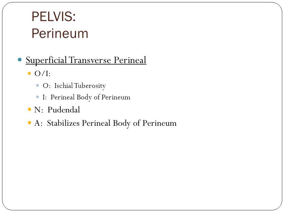 PELVIS: Perineum Superficial Transverse Perineal O/I: O: Ischial Tuberosity I: Perineal Body of Perineum N: Pudendal A: Stabilizes Perineal Body of Perineum