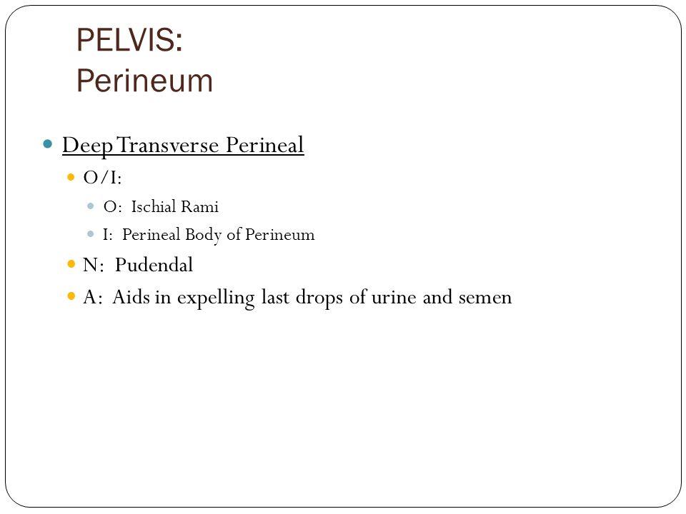 PELVIS: Perineum Deep Transverse Perineal O/I: O: Ischial Rami I: Perineal Body of Perineum N: Pudendal A: Aids in expelling last drops of urine and semen