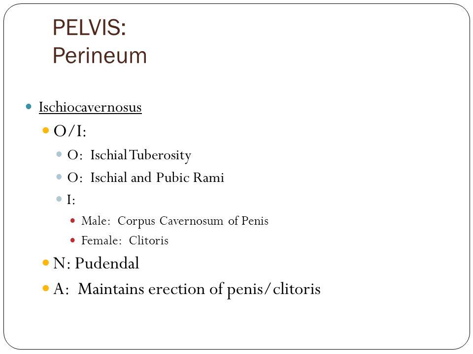 PELVIS: Perineum Ischiocavernosus O/I: O: Ischial Tuberosity O: Ischial and Pubic Rami I: Male: Corpus Cavernosum of Penis Female: Clitoris N: Pudendal A: Maintains erection of penis/clitoris
