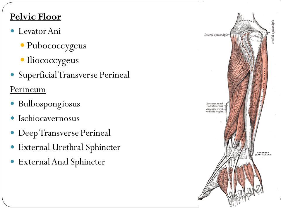 Pelvic Floor Levator Ani Pubococcygeus Iliococcygeus Superficial Transverse Perineal Perineum Bulbospongiosus Ischiocavernosus Deep Transverse Perineal External Urethral Sphincter External Anal Sphincter