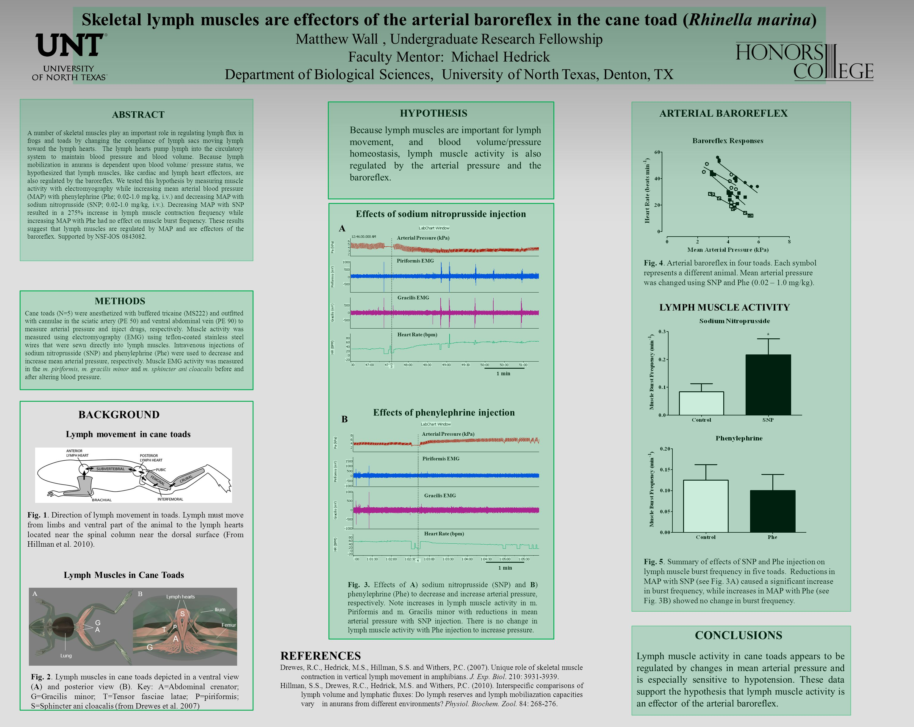 Skeletal lymph muscles are effectors of the arterial baroreflex in the cane toad (Rhinella marina) Matthew Wall, Undergraduate Research Fellowship Faculty Mentor: Michael Hedrick Department of Biological Sciences, University of North Texas, Denton, TX A number of skeletal muscles play an important role in regulating lymph flux in frogs and toads by changing the compliance of lymph sacs moving lymph toward the lymph hearts.