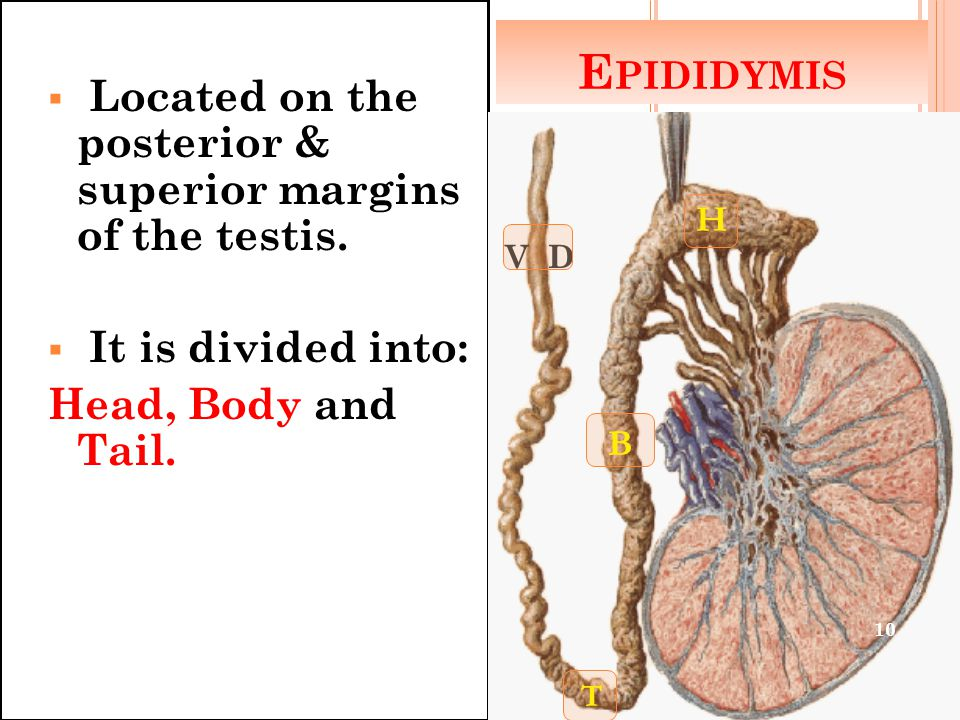 E PIDIDYMIS  Located on the posterior & superior margins of the testis.  It is divided into: Head, Body and Tail. H B T V D 10
