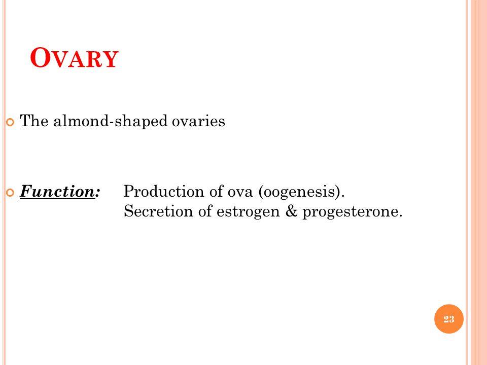 O VARY The almond-shaped ovaries Function: Production of ova (oogenesis). Secretion of estrogen & progesterone. 23