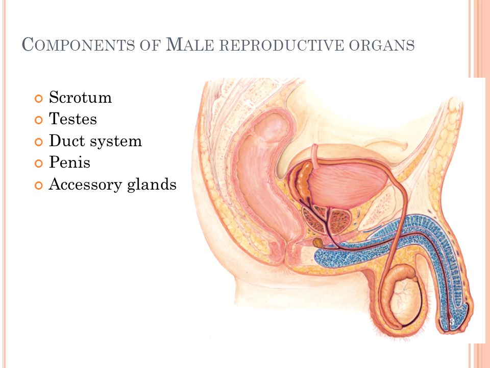 C OMPONENTS OF M ALE REPRODUCTIVE ORGANS Scrotum Testes Duct system Penis Accessory glands 3
