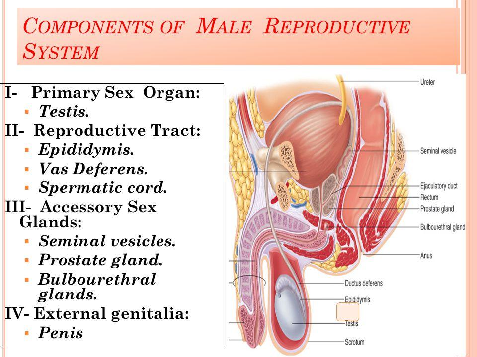 C OMPONENTS OF M ALE R EPRODUCTIVE S YSTEM I- Primary Sex Organ:  Testis. II- Reproductive Tract:  Epididymis.  Vas Deferens.  Spermatic cord. III