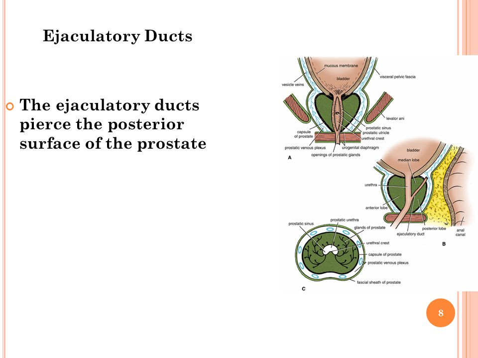 Ejaculatory Ducts The ejaculatory ducts pierce the posterior surface of the prostate 8