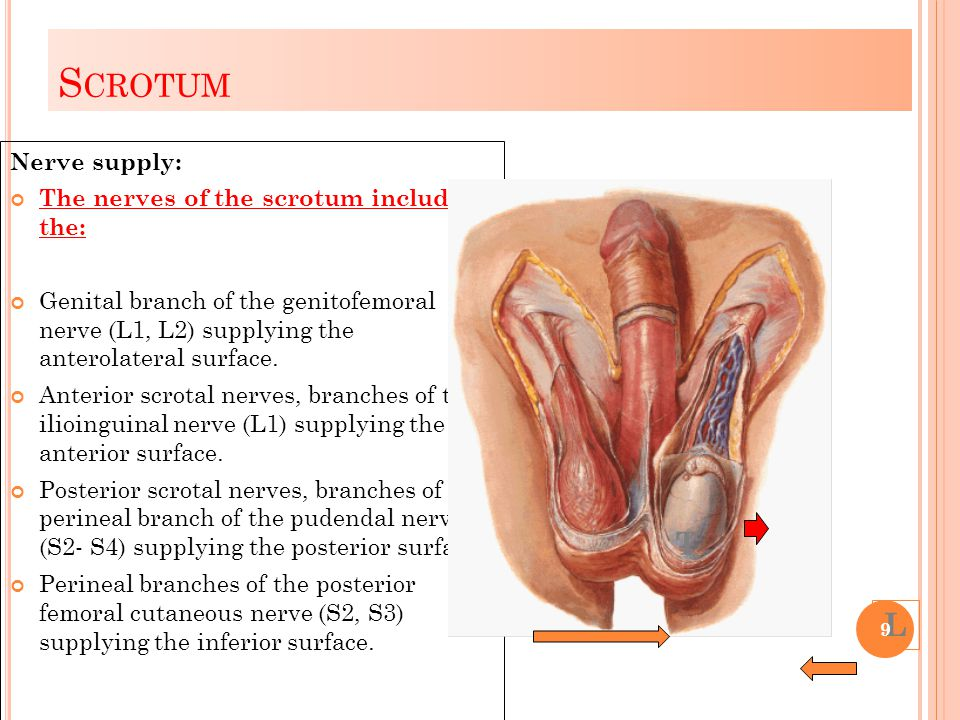 S CROTUM Nerve supply: The nerves of the scrotum include the: Genital branch of the genitofemoral nerve (L1, L2) supplying the anterolateral surface.