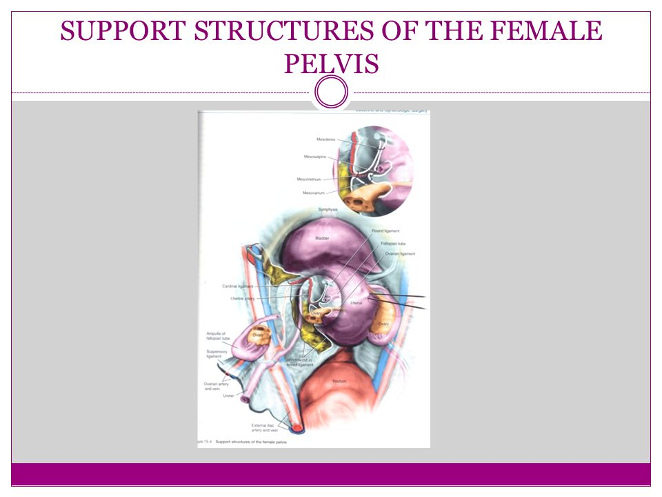 SUPPORT STRUCTURES OF THE FEMALE PELVIS