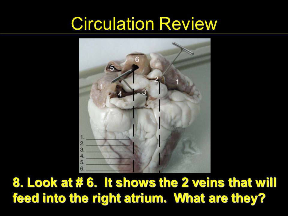 Circulation Review 8. Look at # 6. It shows the 2 veins that will feed into the right atrium.