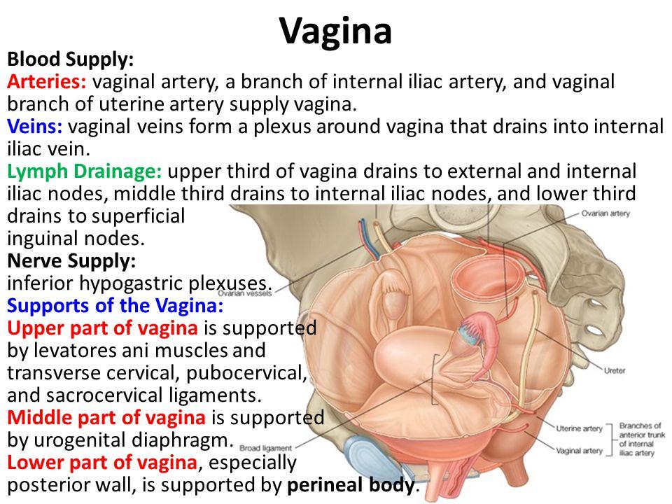 Vagina Blood Supply: Arteries: vaginal artery, a branch of internal iliac artery, and vaginal branch of uterine artery supply vagina. Veins: vaginal v